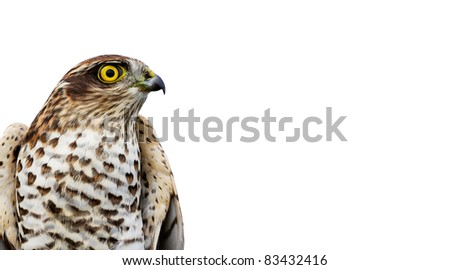The sparrow-hawk on a white background. Aspect ratio as business card. - stock photo