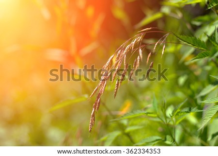 The spike let on the background of green grass in the rays of the setting sun. Shallow depth of field, toned photo - stock photo