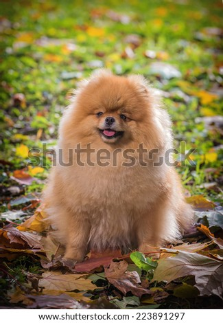 The spitz-dog in autumn park - stock photo