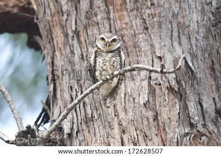 The Spotted Owlet with pine tree. - stock photo