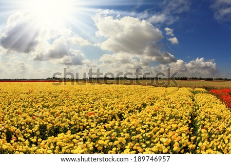 The spring sun shines brightly gorgeous flowers. Picturesque field of beautiful yellow buttercups ranunculus - stock photo