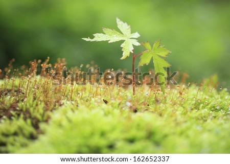 The sprout of moss and a maple - stock photo