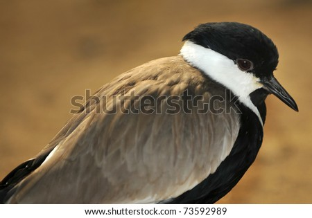 the spur winged plover or lapwing (vanellus spinosus), so named because of a spur hidden under its wing - stock photo