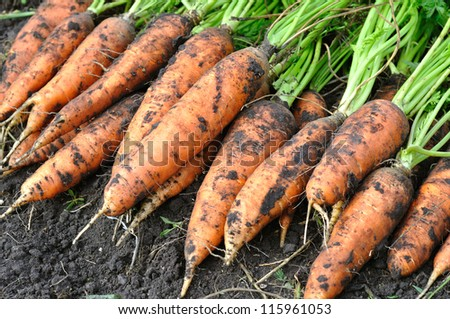 the stack of fresh harvested organic carrots in the field - stock photo