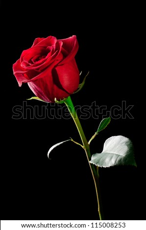 The studio photo of a red rose on a black background. - stock photo
