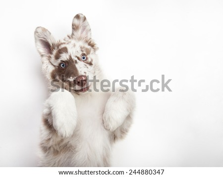 The studio portrait of the puppy of Australian Shepherd lying on the white background, giving a paw and begging - stock photo