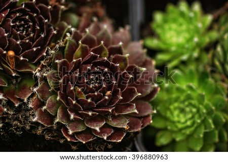 The succulents in the pots macro - stock photo