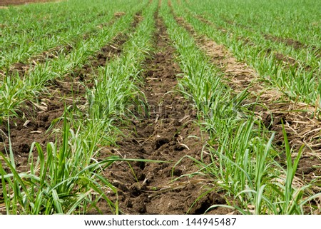 The sugar cane farm in Thailand as background - stock photo