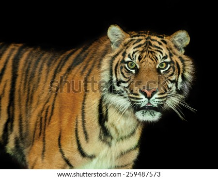 The Sumatran tiger  inhabits the Indonesian island of Sumatra. It was classified as critically endangered  - stock photo