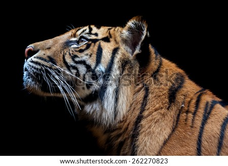 The Sumatran tiger is a rare tiger subspecies that inhabits the Indonesian island of Sumatra. It was classified as critically endangered  - stock photo