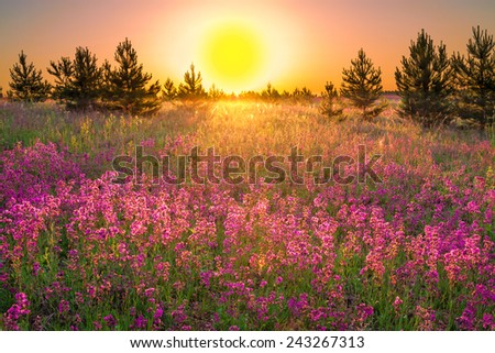 the summer  landscape with purple flowers on a meadow and  sunset - stock photo