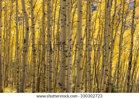 The sun is back lighting the leaves of the aspens bathing the trunks in a golden light. Owl Creek Pass, Ridgway, Colorado. - stock photo