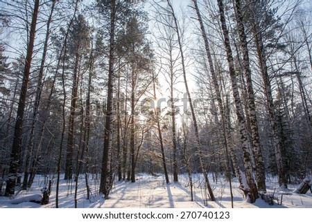 The sun's rays breaking through the trees in the winter forest - stock photo