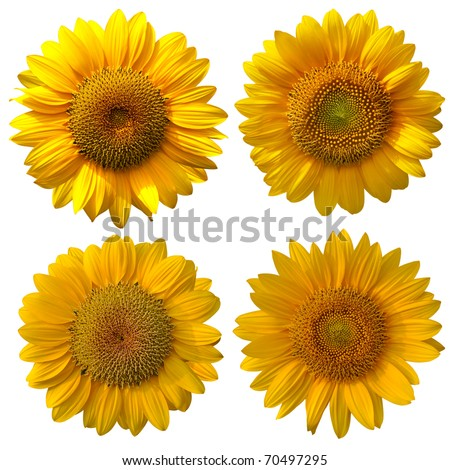 The sunflower On a white background - stock photo
