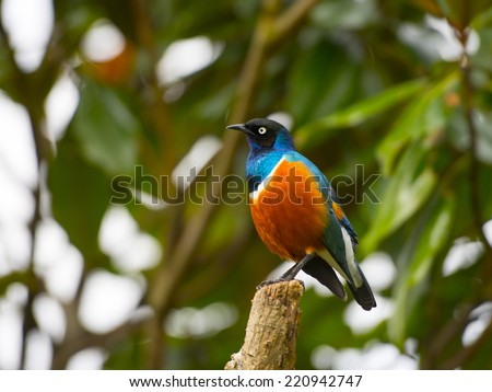 The superb starling have black heads and iridescent blue-to-green back, upper breast, wings, and tail. The belly is red-orange, separated from the blue breast by a white bar. - stock photo