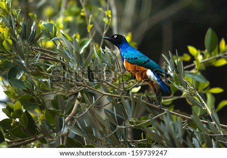 The Superb Starling (Lamprotornis superbus) is a member of the starling family of birds. It can commonly be found in East Africa, including Ethiopia, Somalia, Uganda, Kenya and Tanzania. - stock photo