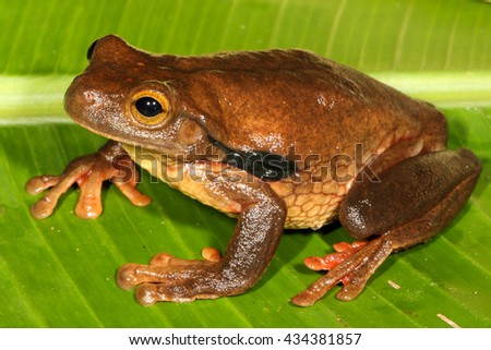 The Surinam golden-eyed tree frog, Trachycephalus coriaceus, is a species of frog in the Hylidae family found in Bolivia, Brazil, Ecuador, French Guiana, Peru, Suriname, and possibly Colombia. - stock photo