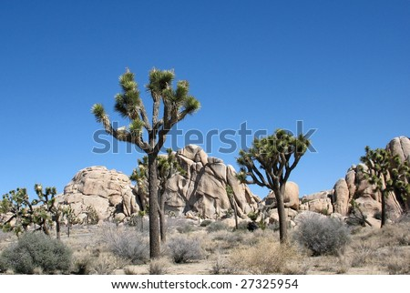 The surreal landscape of Joshua trees against rock formations under a blue sky - stock photo