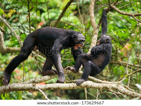 The Swearing and Aggressive Bonobo ( Pan paniscus) . Democratic Republic of Congo. Africa   - stock photo