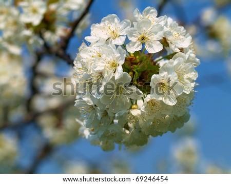 The sweet cherry blossom - stock photo
