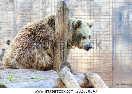 The syrian bear sitting on a timbered platform - stock photo