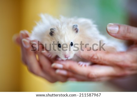 the Syrian hamster is sitting on the palms - stock photo