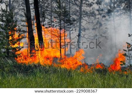 The taiga trees burning in a fire, Siberia, Russia - stock photo