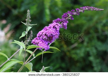The tall butterfly-bush flower with buds on the bright green blurry background on a bright sunny day in the garden. - stock photo
