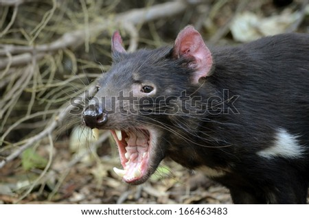 the tasmanian devil is growling and snarling fiercely - stock photo