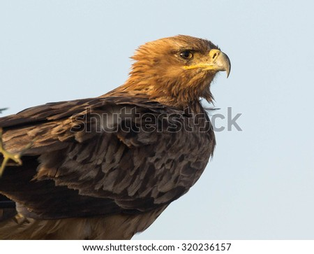 The Tawny Eagle - stock photo