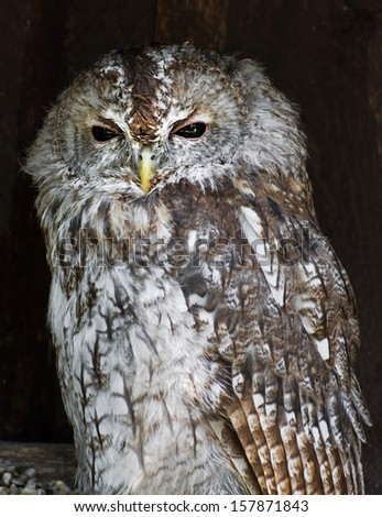 The Tawny owl or Brown owl (Strix aluco). - stock photo