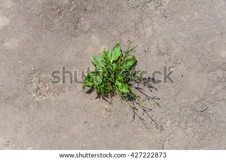 The texture of the old cracked asphalt and grass sprout. Grass grows from cracks in the road. - stock photo