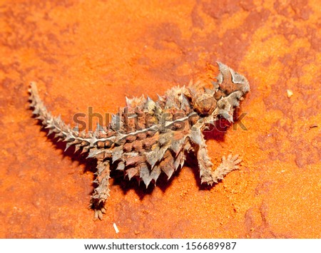 The thorny dragon or thorny devil is an Australian lizard, also known as the mountain devil, the thorny lizard, or the moloch.Tup to 20 cm in length, and it can live up to 20 years. - stock photo