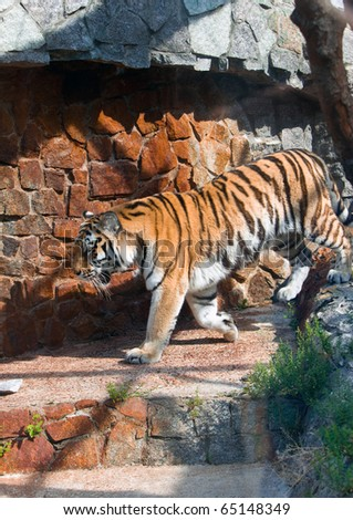 The tiger going on an open-air cage - stock photo