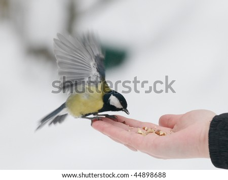 The titmouse who is flying up from a palm - stock photo