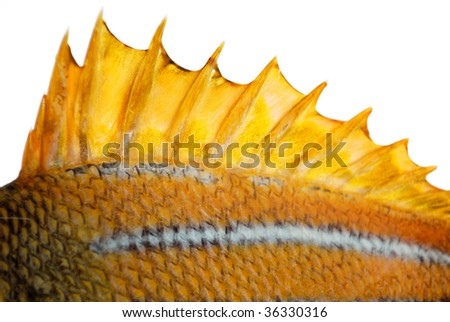 The top fin of a goldfish - stock photo