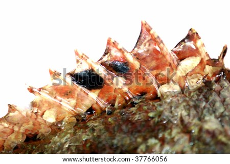 The top fin of a stone perch fish on white background - stock photo