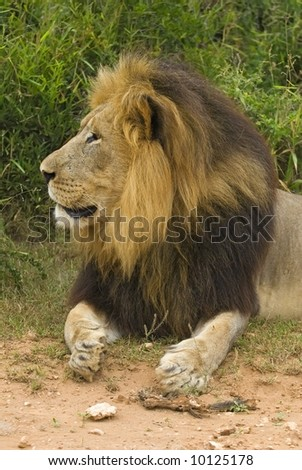 The top Male Lion in South Africa - stock photo