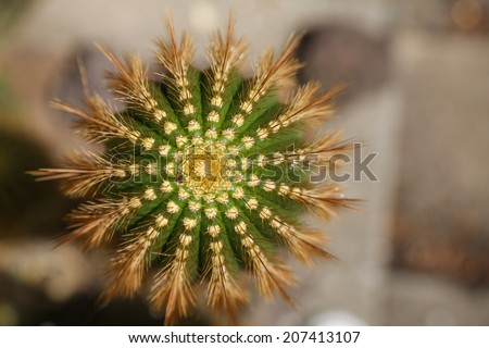 The top of a cactus in close up, showing a lot of spikes ordered in a beautiful shape - stock photo