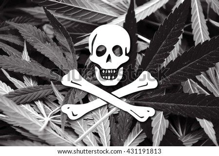 The traditional Jolly Roger of piracy Flag, on cannabis background - stock photo