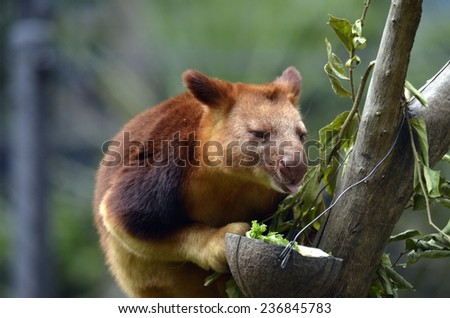 the tree kangaroo is licking his food in his food bowl - stock photo