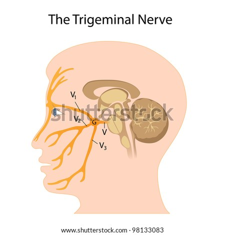 The trigeminal nerve - stock photo