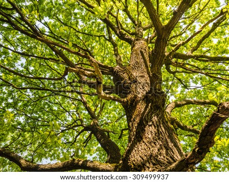 The trunk and branches of an old oak tree viewed from below - stock photo
