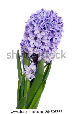 The truss of lilac hyacinth isolated on white background - stock photo