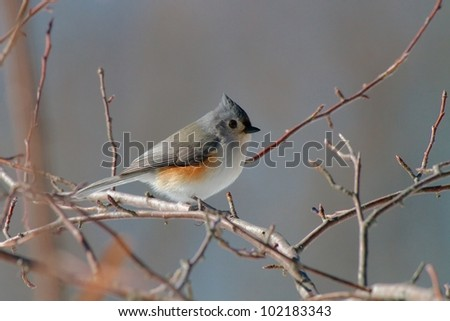 The Tufted Titmouse (Baeolophus bicolor) sitting on a branch in the cold winter in Boston, USA - stock photo