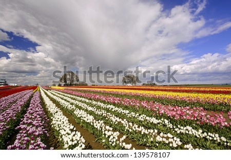 The Tulip Fields of Oregon - stock photo