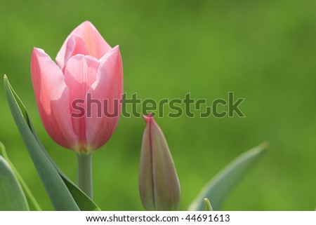 The tulip is coming out in the garden. - stock photo