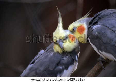 the two cockatiels are grooming each other - stock photo