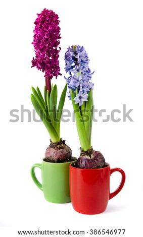 The two hyacinths in a tea cups are isolated on a white background - stock photo