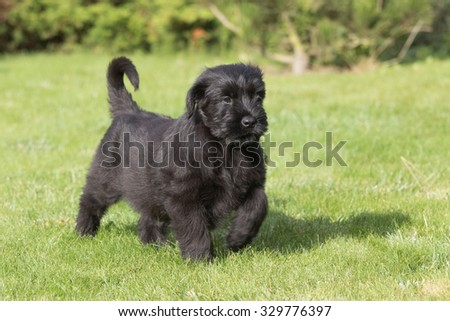 The two-month puppy of Giant black schnauzer dog is standing on the lawn. - stock photo
